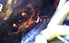 Anemone crab, Cozumel
