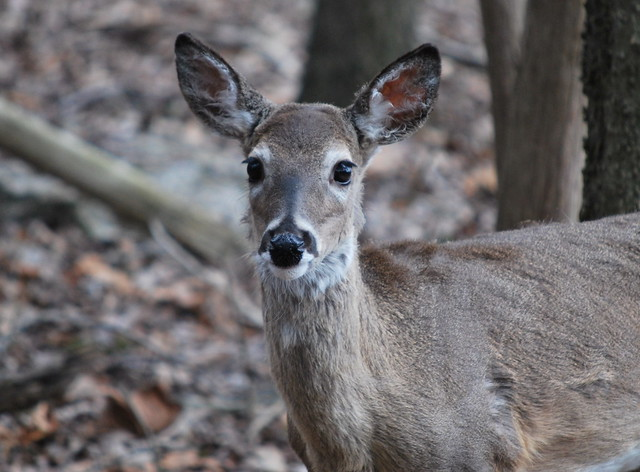 Curious yearling