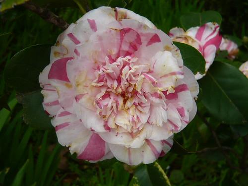 Camellia bicolour