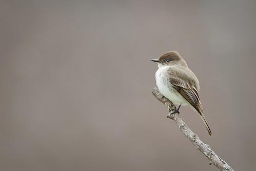 nature birds canon wildlife phoebe 7d easternphoebe wildbirds 600mm