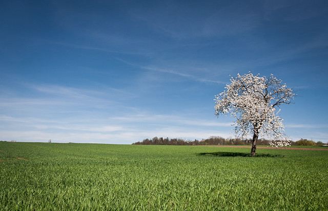 cherry, tree, field, spring