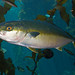 Yellowtail Amberjack - Photo (c) Brian Gratwicke, some rights reserved (CC BY)