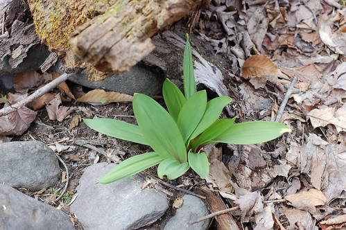 A clump of wild leeks growing near a streambed by Eve Fox, Garden of Eating blog, copyright 2011