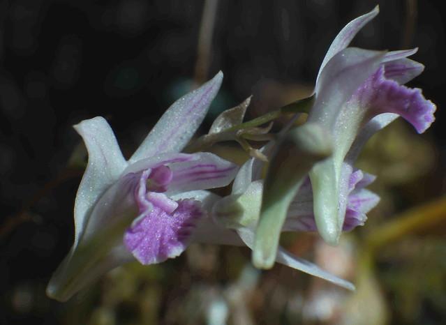 Dendrobium microbulbon 5653336317_4c10ecd7bd_z