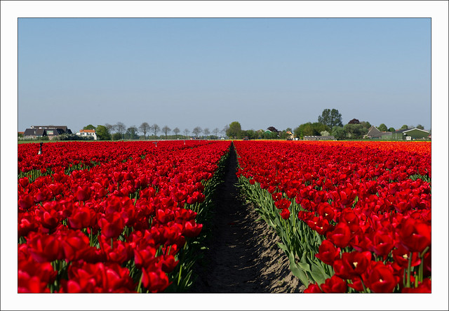 photo of tulip fields in the netherlands