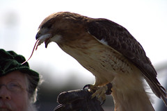 Jack - Red-tailed Hawk