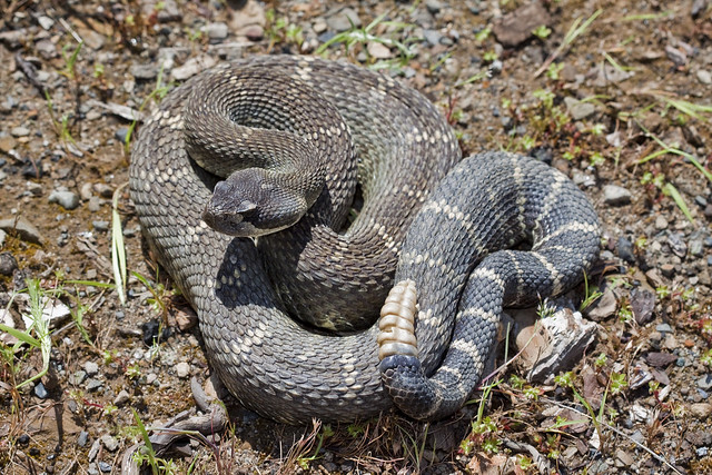 Northern Pacific Rattlesnake | Flickr - Photo Sharing!