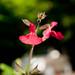 Small photo of Autumn Sage