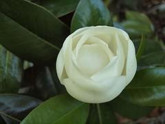 camellia sasanqua, flower, plant, flora, gardenia, theaceae, petal,