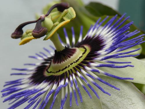 Passiflora incarnata     ~154/365