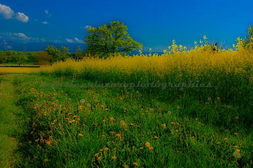 blue sky verde green yellow azul vert céu rape bleu amarillo amarelo ciel cielo plantation azur canola jeune colza lavoura tillage plantación coltivazione brazilianphotographer fotografobrasileiro photographebrésilien fotógrafobrasileño