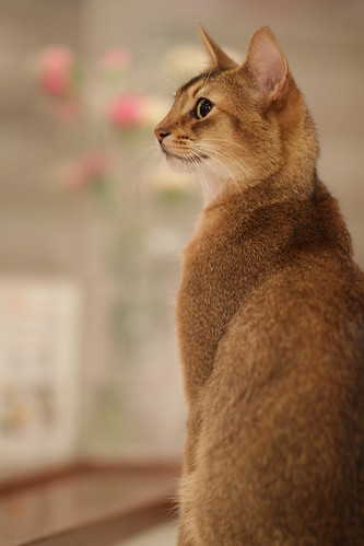 portrait of a cat in a Japanese cat cafe
