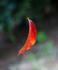 autumn leaf hanging by a thread