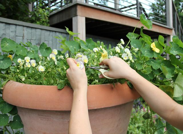 Ariel Nadelberg harvests violas for BBG's Terrace Cafe. Photo by Rebecca Bullene.