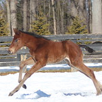 BAMBA/PADDY O'PRADO FOALED 2/13/14 AT DARK HOLLOW FARM. OWNED AND BRED BY DARK HOLLOW FARM. MARE BACK TO FLATTER.