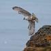 Fálki (Falco rusticolus) - Gyr Falcon