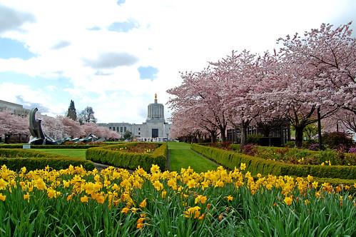 park trees flower tree grass oregon mall cherry 5 capital blossoms capitol april 桜 sakura salem blooms viewing hanami 花見 d40 edmundgarman