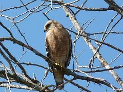 Hawk s41