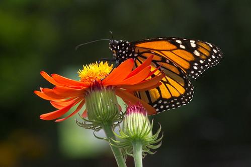 Flickriver mario groleau most for Papillon jardin botanique 2015