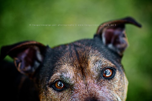 Zac by twoguinepaigs pet photography