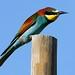 Abelharuco (Merops apiaster) by Joaquim Antunes