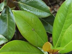 deciduous(0.0), shrub(0.0), flower(0.0), produce(0.0), fruit(0.0), food(0.0), bitter orange(0.0), evergreen(1.0), leaf(1.0), tree(1.0), plant(1.0), bay laurel(1.0),
