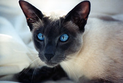 animal, siamese, small to medium-sized cats, pet, snowshoe, oriental shorthair, javanese, thai, tonkinese, close-up, cat, burmese, carnivoran, whiskers, balinese, domestic short-haired cat,