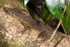 "<a href=""http://www.flickr.com/photos/theactionitems/5839941620/"">Photo of Anolis sabanus by Marc AuMarc</a>"