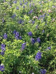 shrub, flower, plant, herb, wildflower, meadow, bluebonnet,
