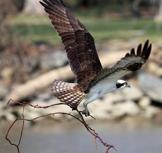 Águila Pescadora - Estados Unidos