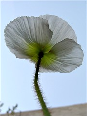 Icelandic Poppy, view from below