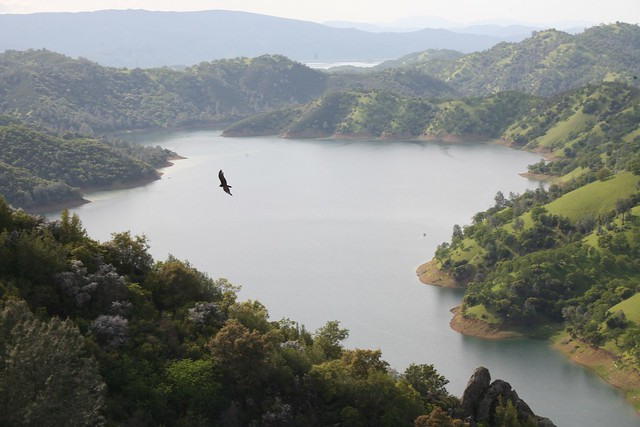 Hawk flying over lake Berryessa, California