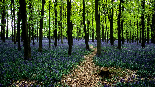 Ashridge Park, Hertfordshire, UK | National Trust Woodlands carpeted with English Bluebells in Spring (4 of 5)