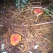 Small photo of Otari toadstools