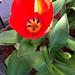 w68_ 1 red Tulip comes alive!