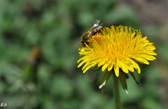 animal, honey bee, dandelion, pollen, flower, yellow, nature, invertebrate, macro photography, membrane-winged insect, wildflower, flora, fauna, close-up, plant stem, bee, bumblebee,