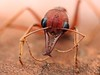 red bulldog ant