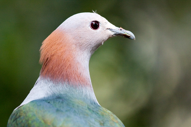 Sulawesi Green Imperial Pigeon