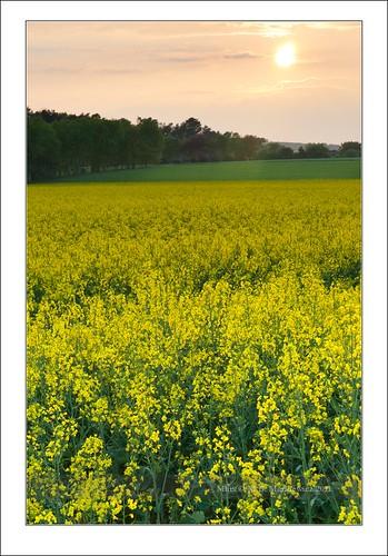 flowers sunset misty geotagged spring luxembourg lux sonnar vario bourglinster geo:lat=49 geo:lon=6 sal2470za sonydslra900 2470mmf28zassm maciejbmarkiewicz sonyzeissvariosonnar247028ssm 22927200 70299400 49°421078n6°134538e