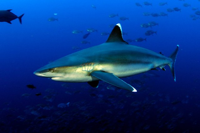 Silvertip Shark | Flickr - Photo Sharing!