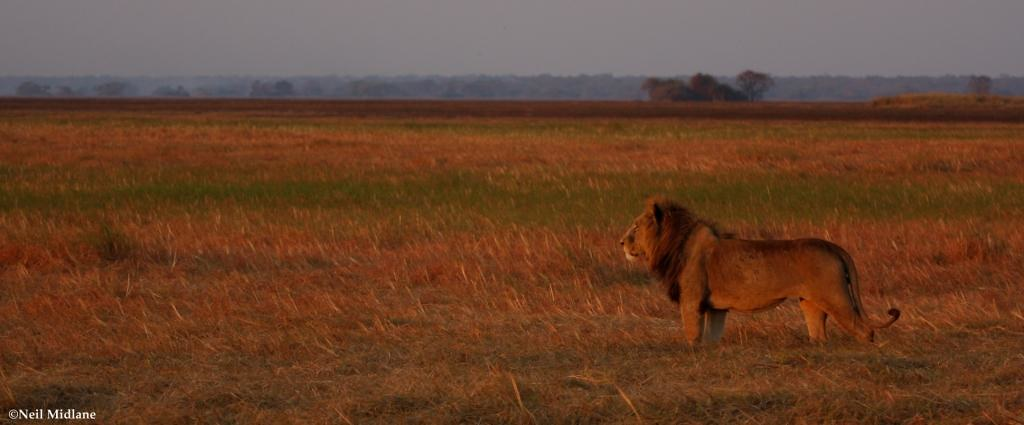 A male lion looks out across his range
