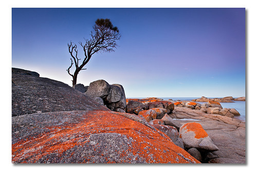 Binalong Bay Tree (ii), Tasmania, Australia