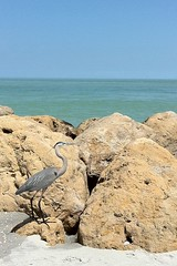 Great Grey Heron, Captiva