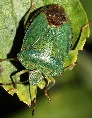 Green Shieldbug 6426