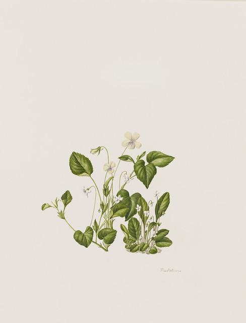"""Rose Pellicano, Viola primulifolia,  Viola striata, Viola conspersa, 2010. Native Flora Garden. Watercolor on Arches. 12"""" x 9""""."""