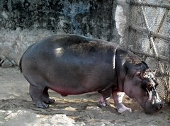 Hippopotamus at mysore zoo