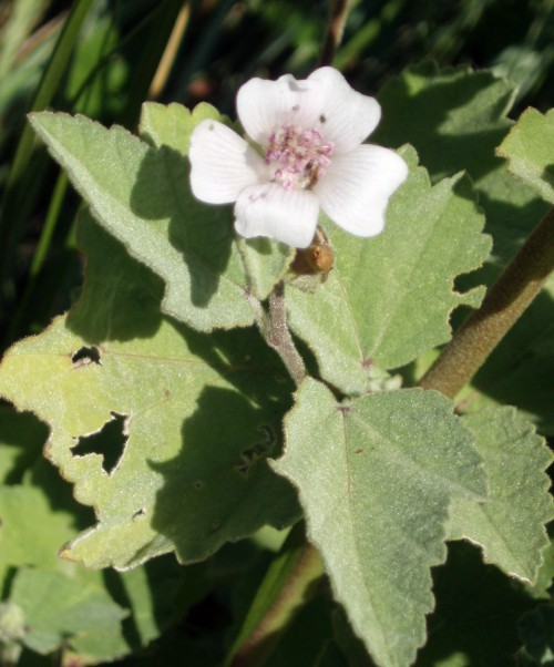 Althaea officinalis 5578861058_52a34ea314_o