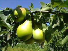 fruit tree, pear, fruit,
