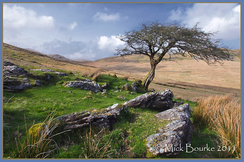 Lone windswept tree Maam Valley Connemara Galway Ireland.
