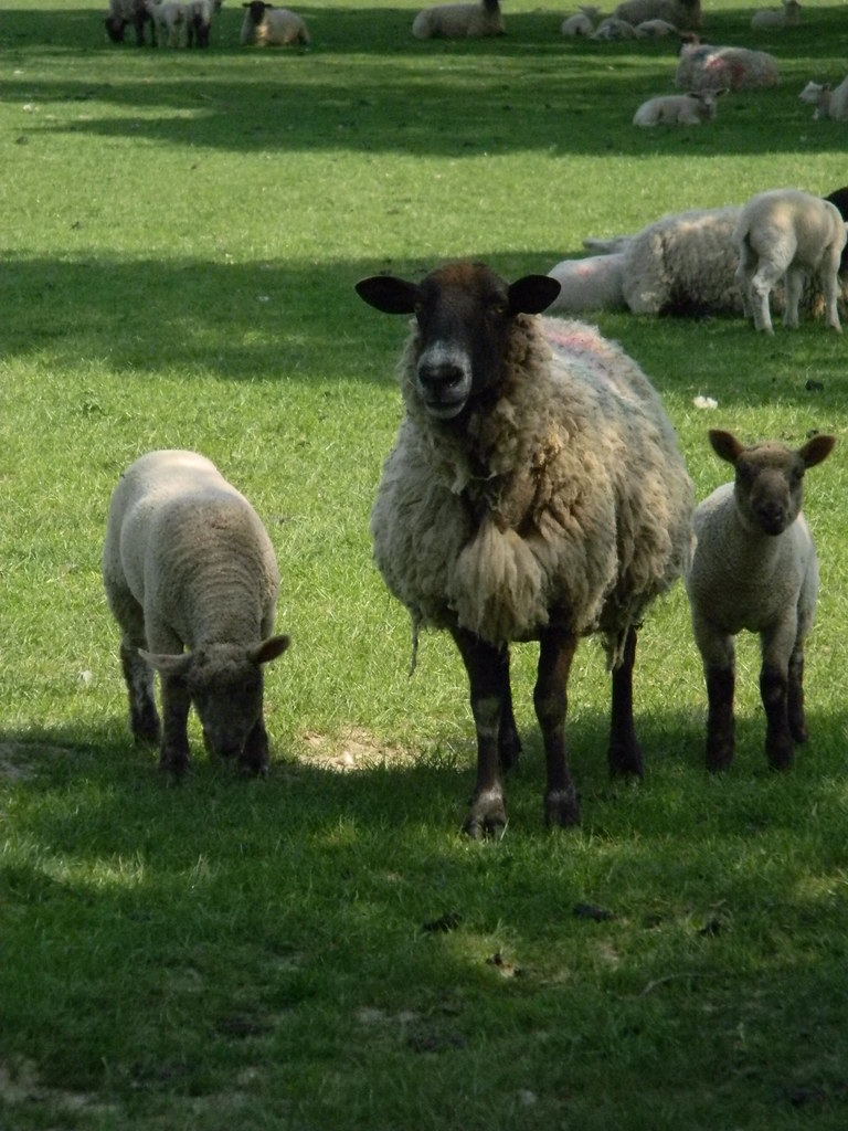 Sheeps Staplehurst to Headcorn